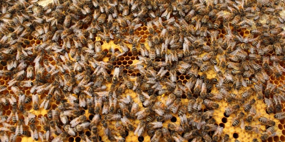 Frame of brood - spot the queen!