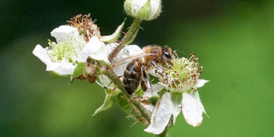 Honey bee on bramble flower