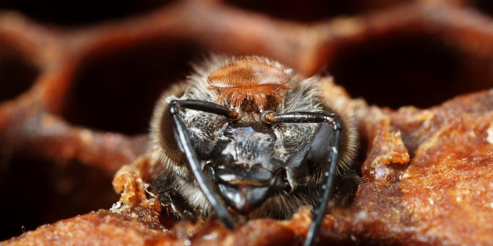 Varroa destructor on the head of an emerging bee