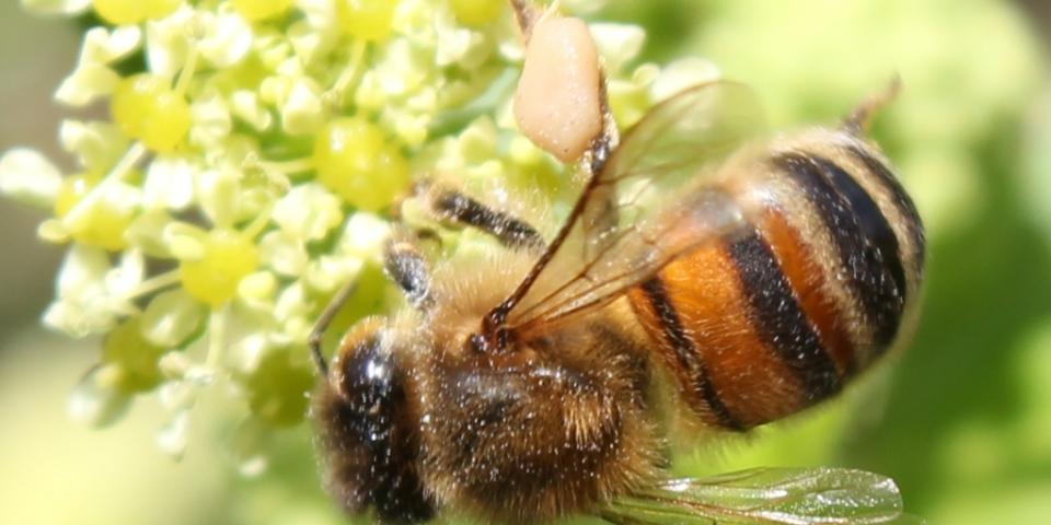 Honey bee gathering pollen from Alexanders plant