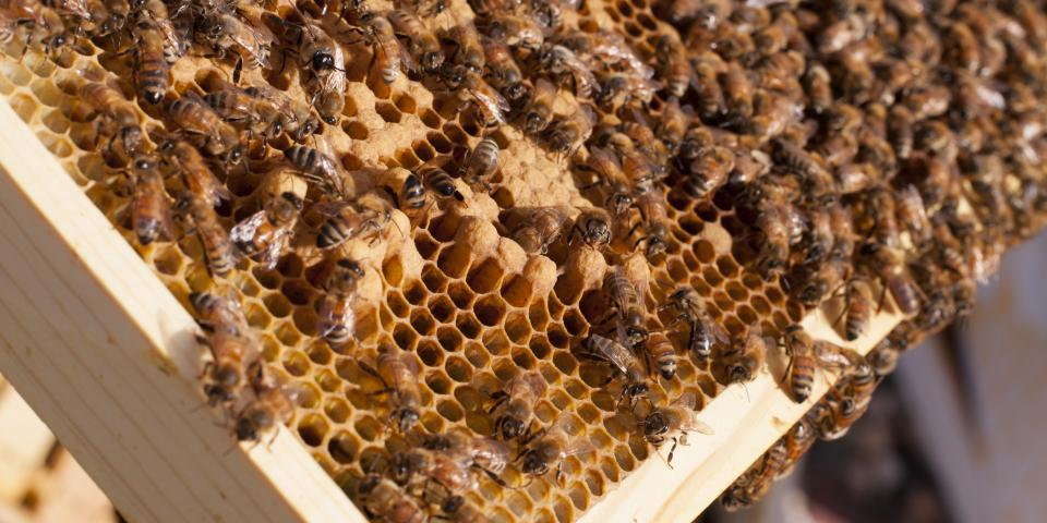 Honey bees on a frame in the brood box