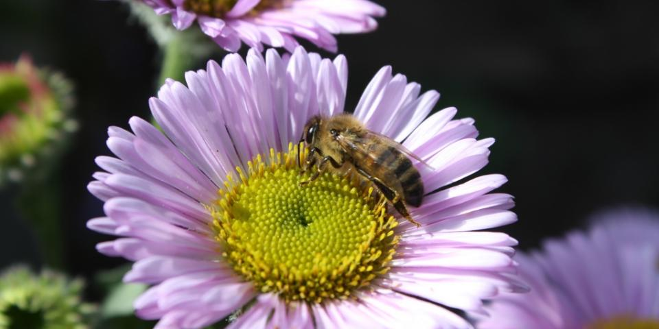 Honey bee on beach aster