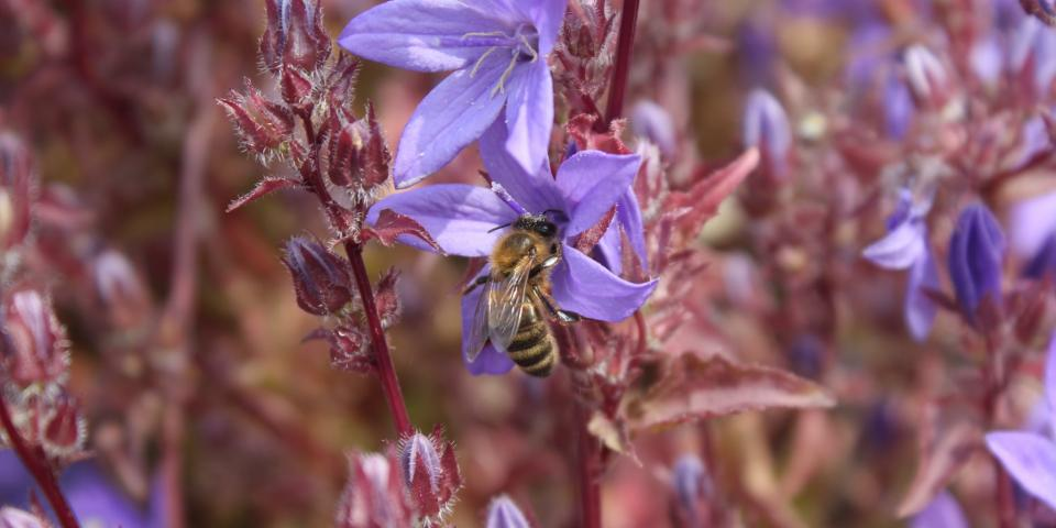 Honey bee on garden plant