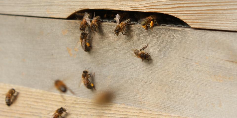 Bees bringing back pollen