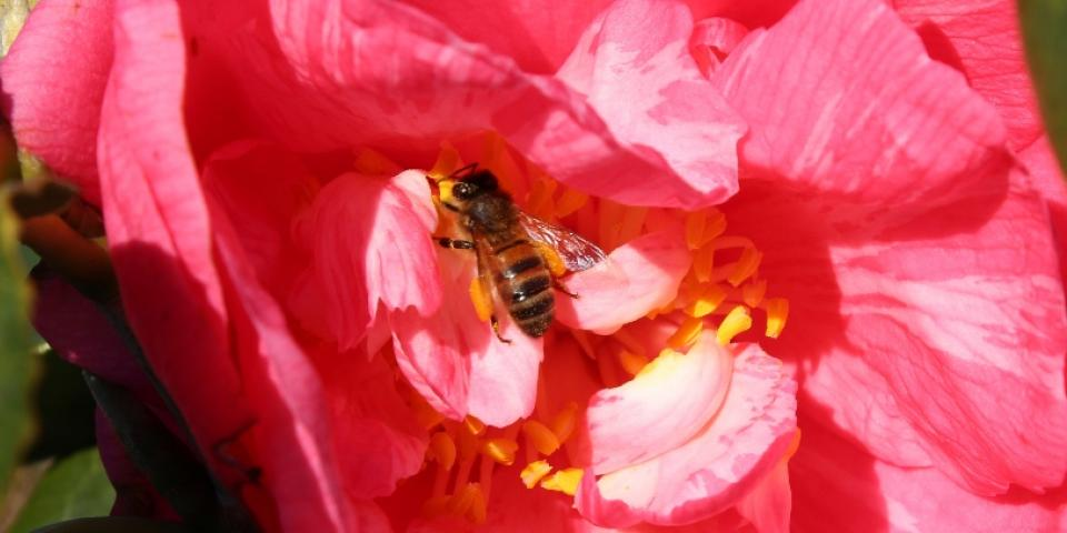 Honey bee gathering nectar on camelia plant