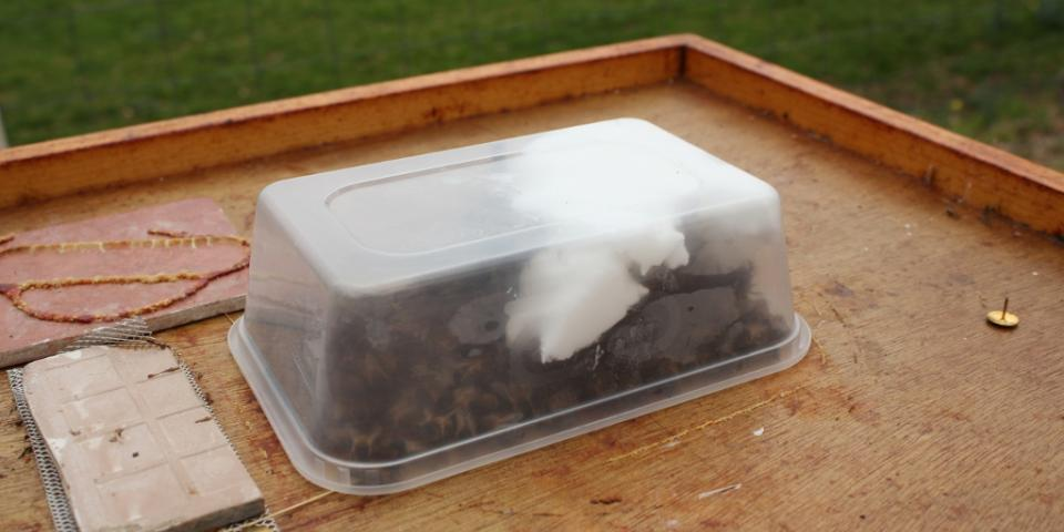 Fondant being fed to honey bees