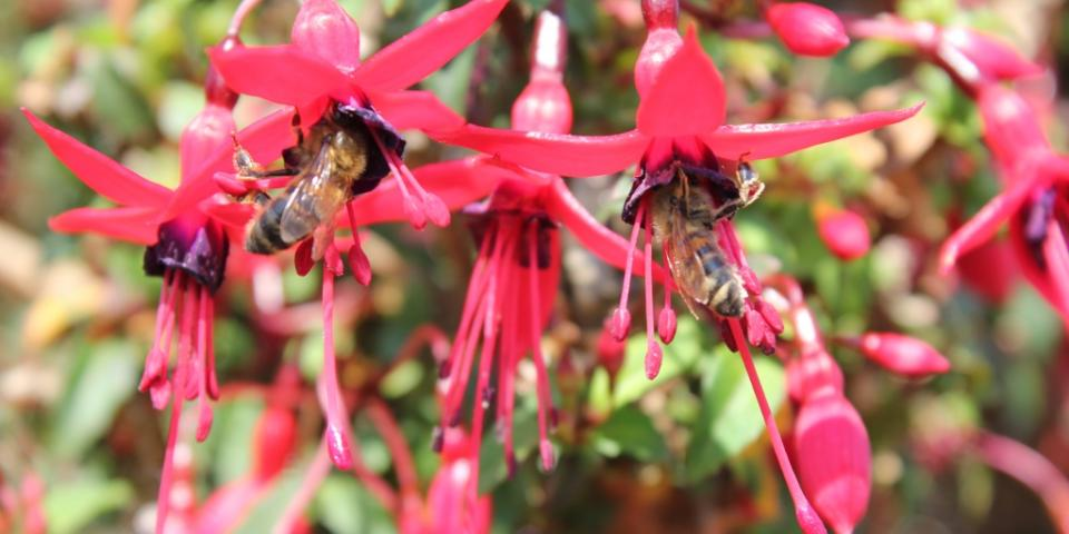 Honey bees working fuchsia flowers