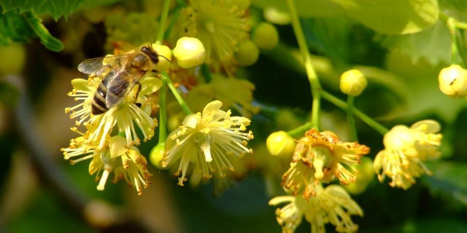 Honey bee on lime flower