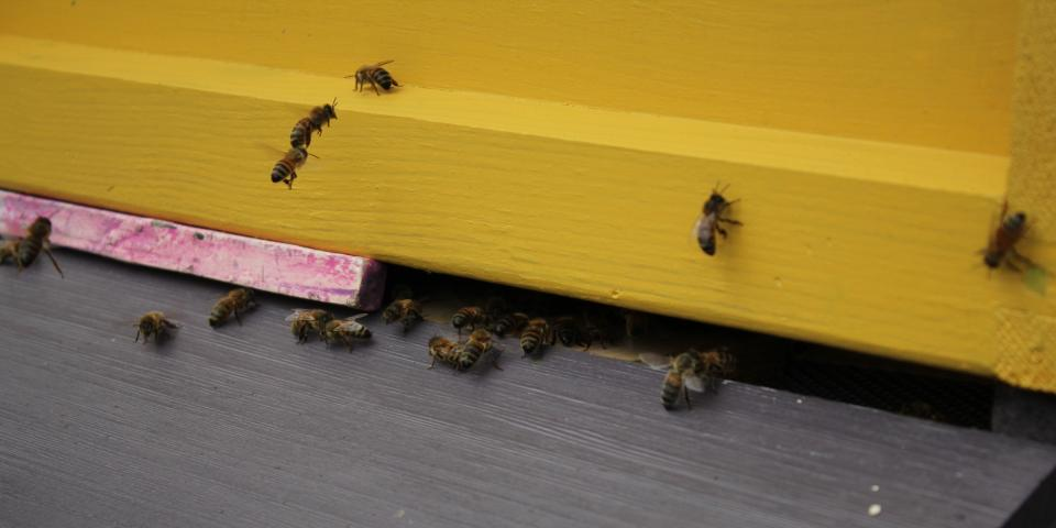 Bees orientating themselves to new home