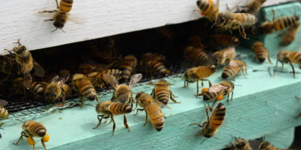 Honey bees bringing in pollen and other bees fanning at hive entrance