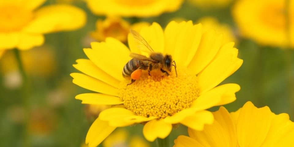Honey bee in Jardin Botanique, Strasbourg