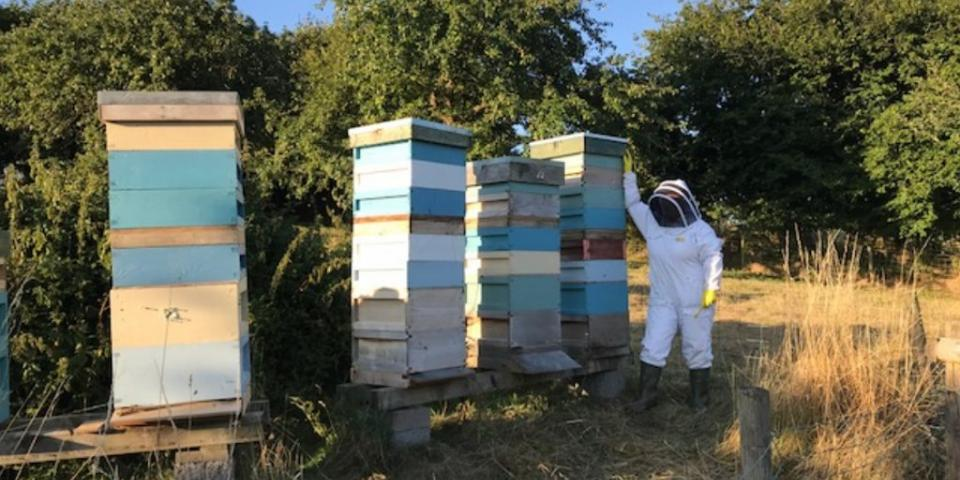 Honey bee colonies with large stacks of supers