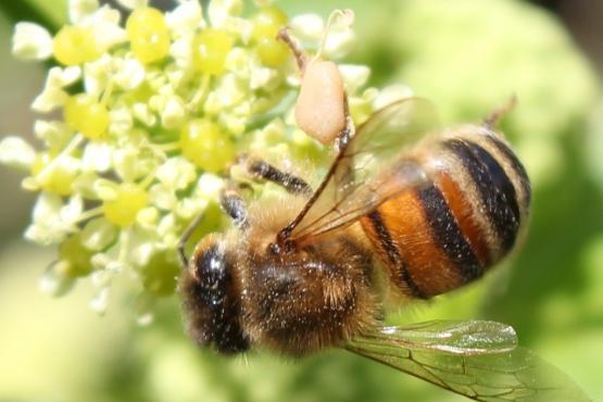 Honey bee gathering pollen from Alexanders plant
