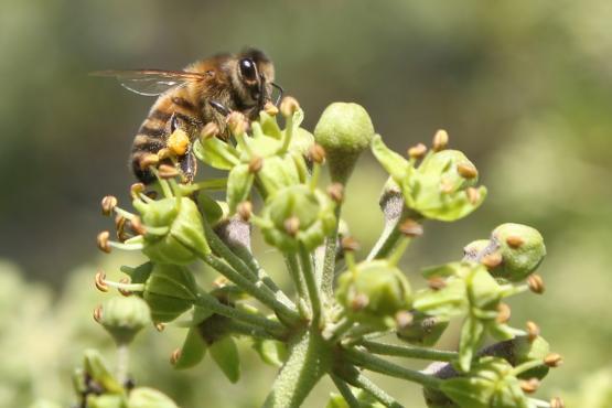 Honey bee on flowering ivy
